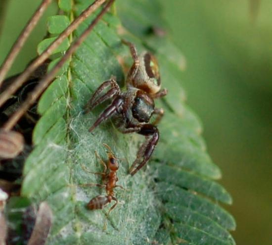 Une araignée herbivore