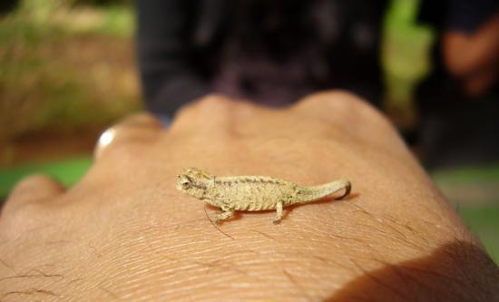 Le plus petit caméléon