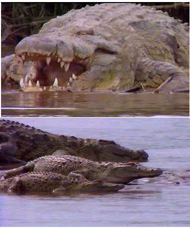 Saltwater Crocodile v Tiger Shark