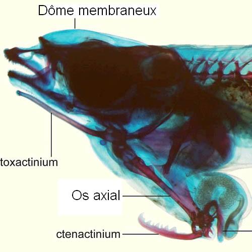 Mékong - zoologie - zoology - cuu long - penis head - Phallostethus cuulong - Soc Trang - Tra Vinh - cuulong - vietnam - découverte d'un nouveau poisson - ichtyologie - Phallostethus cuulong - Koichi Shibukawa - phallostethidé - aout 2012 - poisson d'eau douce