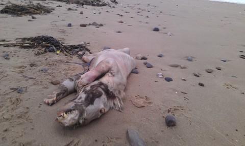 Tératologie-Pembrokeshire-Royaume Uni-carcasse-décomposition-Peter Bailey-Cryptozoologie-analyse