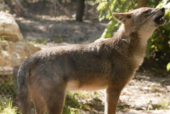 Chacal dore canis aureus moreoticus est arrive au danemark photo attis1979 septembre 2015