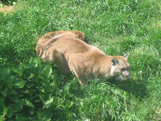 zoologie - cryptozoologie - Courcelles - lion des montagnes - cougar - couguar - félidé - belgique - province de Hainault - big cat - wallonnie - aout 2012