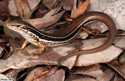 Ctenotus ora - Perth - Australie - nouvelle espèce - herpétologie - reptile - lézard - scinque des plaines cötières - zoologie - octobre 2012 - Scott Keogh - Geoffrey Kay
