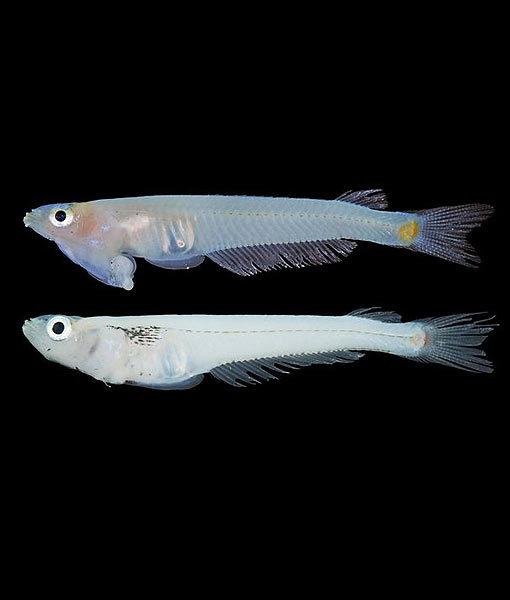 penis head -  zoologie - zoology - Phallostethus cuulong - Soc Trang - Tra Vinh - cuulong - vietnam - découverte d'un nouveau poisson - ichtyologie - Phallostethus cuulong - Koichi Shibukawa - phallostethidé - aout 2012 - poisson d'eau douce