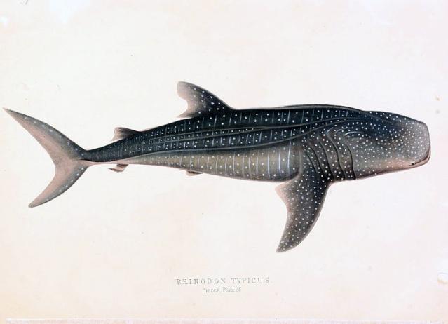 zoologie - requin-baleine - rhincodon typus - plus grand poisson connu - carcharadon carcharias - poisson - ichtyologie - catilagineux  - espèce menacée - océan - septembre 2012  - Californie