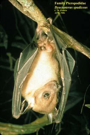 zoologie - Malaisie - Sumatra - Bornéo - animal particulier - insolite - chauves-souris - Dayak fruit bat - lactation paternelle - dyacopterus spadiceus - mammalogie - chiroptère  - mammifère - Asie du Sud est - septembre 2012  - François de Sarre