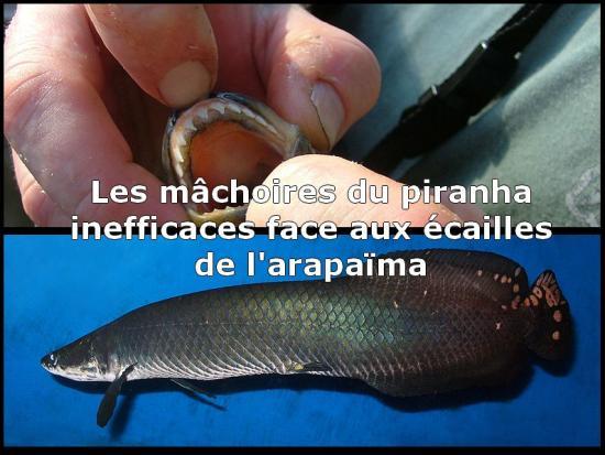 Ichtyologie – grand poisson d'eau douce - zoologie - zoology - François de Sarre - Philippe Mind - Brésil - Guyane britannique - Guyana  - arapaima gigas - paiche - pirarucu - poisson géant – Amazone – Heinrich Rudolph Schinz - Pérou - Osteoglossidés