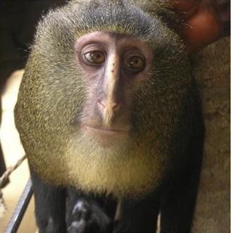 zoologie - primate - singe - République démocratique du Congo - cercopithécidé - mammifère - nouvelle espèce - septembre 2012 - Afrique -  Cercopithecus lomamiensis - cryptozoologie - lesula - John Hart