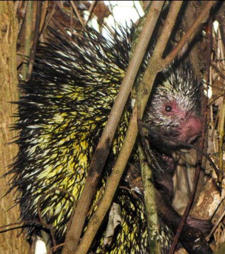 Zoologie - biodiversité - singe hibou - porc-épic - musaraigne - National Geographic -  menacé - mammifère - septembre 2012 - parc national tabaconas Namballe - Equateur