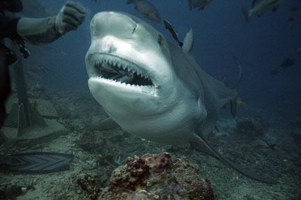 carcharhinus leucas requin bouledogue requin du zambèze poisson osseux poisson cartilagineu semi-pélagique zoologie ichtyologie attaque à la réunion requin eau douce