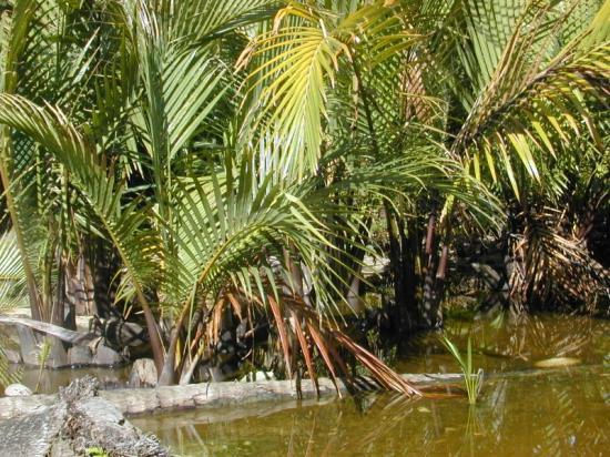 poisson - biodiversité - ichtyologie - zoologie - combattant - ThaÏlande - betta mahachaiensis - betta splendens - Chanon Kowasupat - nouvelle espèce - Osphronemidae - Maha Chai - nypa fruticans