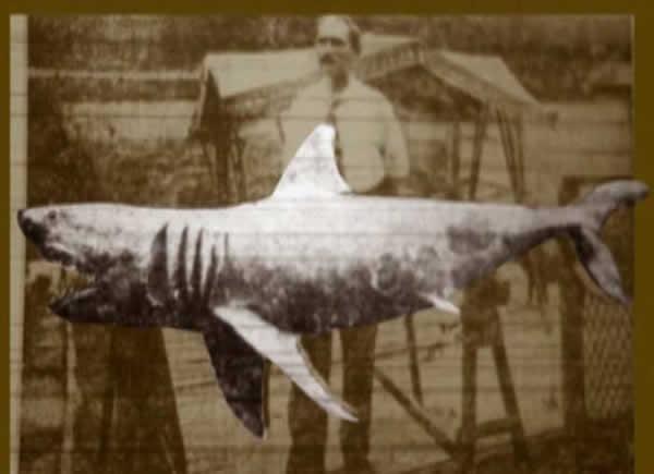 requin bouledogue géant