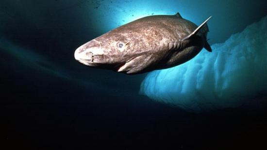 Requin du groenland ou laimargue crypto investiagtions