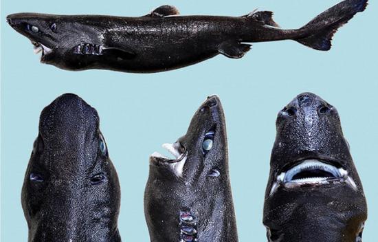 Requin lanterne ninja le nouveau requin decembre 2015