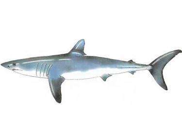 zoologie, zoology, requin, poisson, idées reçues, ichtyologie, coupable idéal, menacé, record par catégorie, peuple des océans, requin, monstre, idées reçues, requin baleine, requin blanc, juillet 2012, requin blanc, requin mako