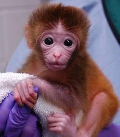 Roku, un des trois macaques chimères