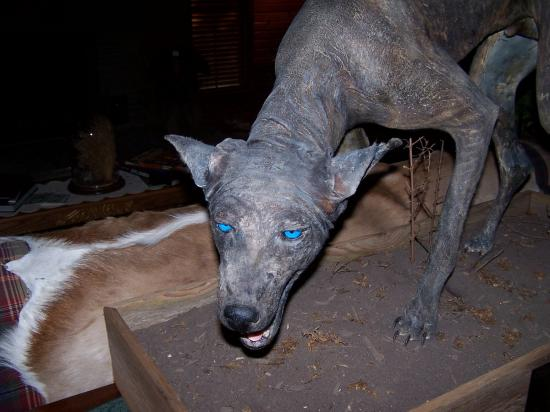 Cryptozoologie-cryptozoology-septembre 2013-comté de Leake-Lena-Pigtown-Mississippi-Philippe MInd-crypto-investigations-Créature inconnue-Texas Blue dog-Matthew Harrell-Phylis Canion-Test Adn-Coyote galeux
