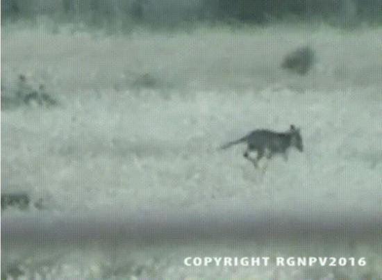 Thylacine filme en autsralie septembre 2016