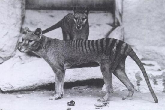 Le Centre for Fortean Zoology à la recherche du thylacine (Crypto-Investigations)