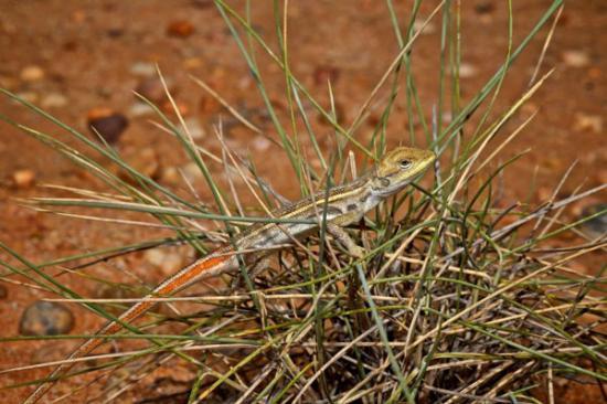 Un nouveau lézard (diporiphora ameliae) découvert dans le Queensland