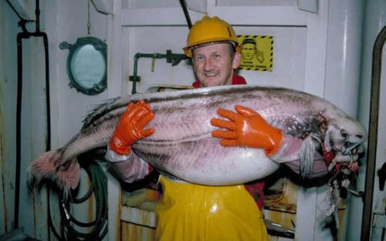 ragfish-POint LOuisa-Alaska-AK-USA-Etats Unis-Poisson cartilagineux-aout 2013-Michael Hays-zoologie-ichtyologie-poisson rare-échouage-Icosteus aenigmaticus