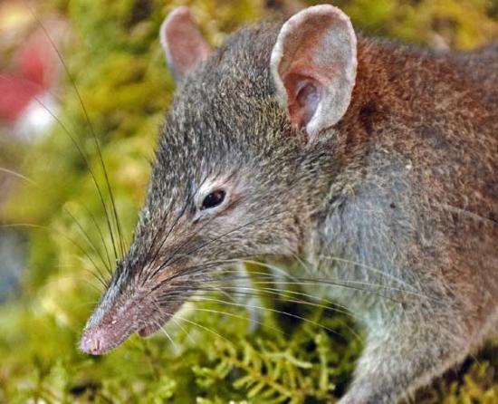 nouvelle espèce - Célèbes - Paucidentomys vermidax - zoologie - zoology - rat-musaraigne - biodiversité - édenté - rongeur - mammifère - Jacob Esselstyn - McMaster University - Indonésie - aout 2012